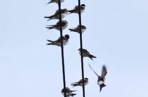 12 Swallows